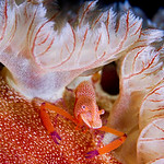 An emperor shrimp is hitching a ride on the back of a spanish dancer nudibranch