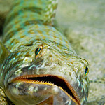 A lizard fish is waiting for passing prey.