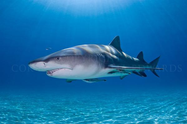 A lemon shark in full sunlight