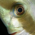 Close up of a spade fish.
