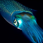 A reef squid at night flashing its colors (cover photo)