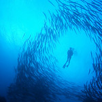 A diver swims through a school of barracudas.