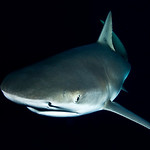 A Lemon shark passes by at night, checking us out