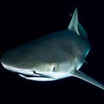 A Lemon shark passes by at night, checking us out