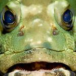 A grouper face shot