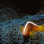 An anemone fish sitting on its anemone.