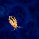"""A """"lady bug"""" sits on a sea squirt."""