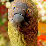 An inquisitive moray eel is poking out of its hole.
